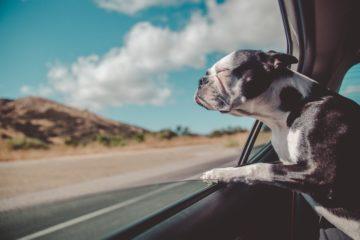 Plaatje hond kijkt uit auto
